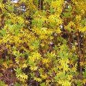 Sichtschutz Pflanzen – Heckenpflanzen gegen neugierige Blicke