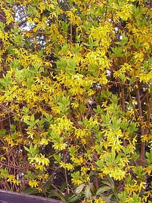 Blühende Heckenpflanzen gelbe Forsythie