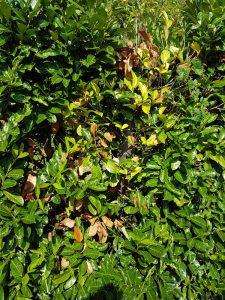 Am Kirschlorbeer gelbe Blätter sichtbar.