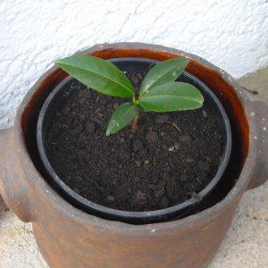Eingepflanzter Kirschlorbeer Steckling