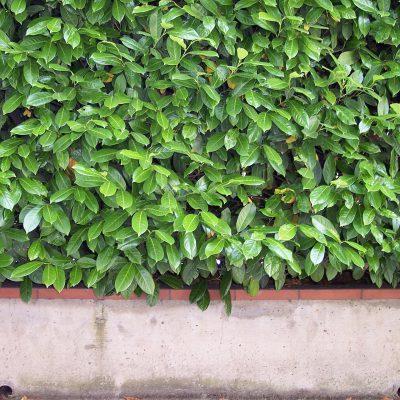 Wie schnell wächst eine Kirschlorbeer Hecke?