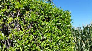 Kirschlorbeer Herbergii