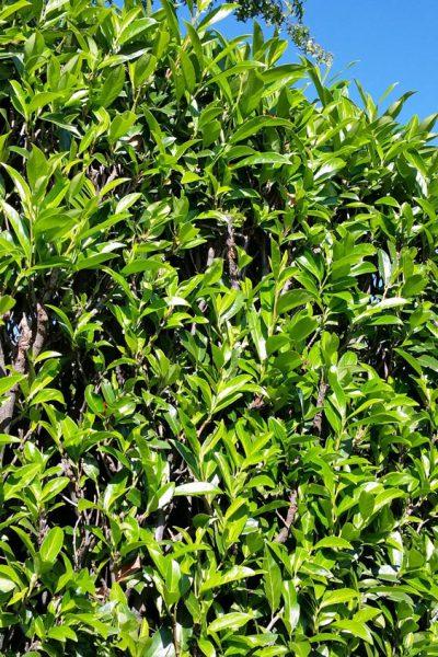 Was genau ist Prunus laurocerasus Herbergii?