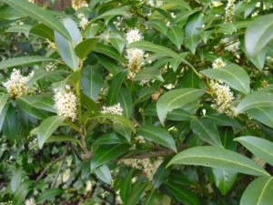 Kirschlorbeer Sorten mit Blüte