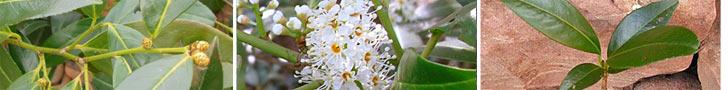 Kirschlorbeer Pflanzen