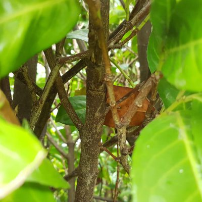 Kirschlorbeer Wachstum: so unterschiedlich wachsen die verschiedenen Sorten