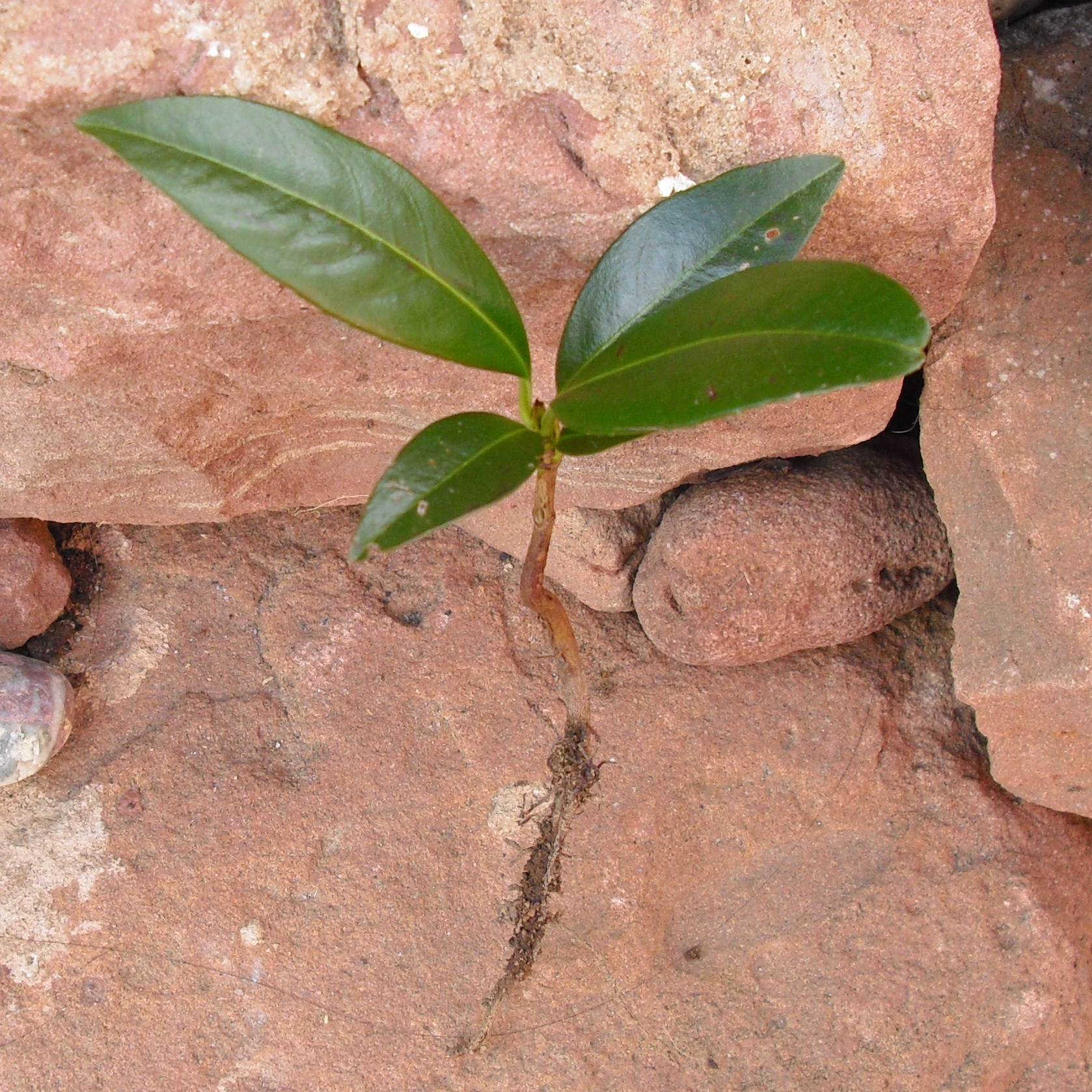 Kirschlorbeer vermehren und züchten durch Stecklinge
