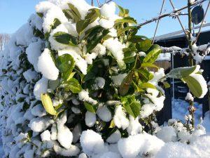 Kirschlorbeer winterhart im Schnee