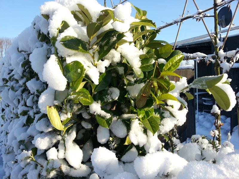 kirschlorbeer winterhart nicht alle sorten trotzen dem frost. Black Bedroom Furniture Sets. Home Design Ideas